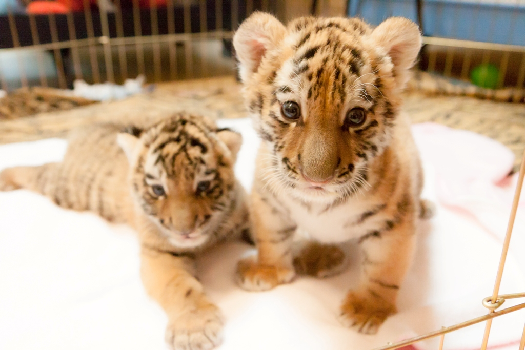 Win A Trip To Find Tiger Cubs With Nokia Amp Tech Girl